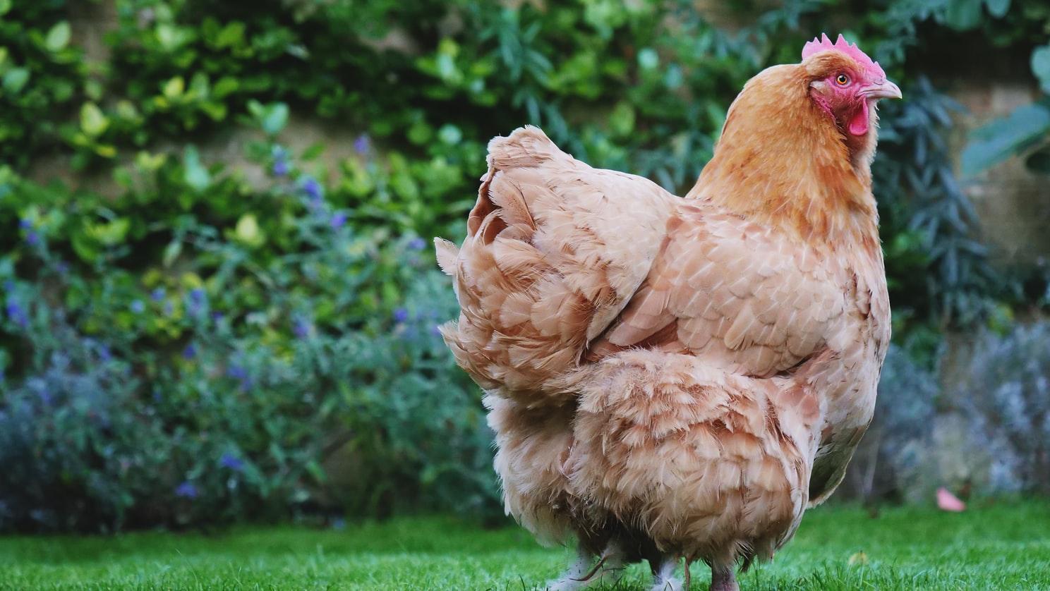 Alasan Mengapa Memilih Bermain Judi Sabung Ayam
